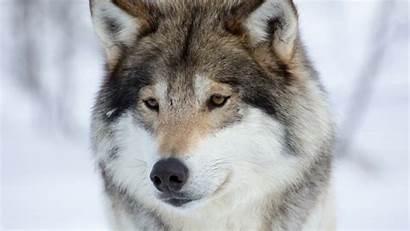 Siberian Huskies Wallpapers Husky Animals