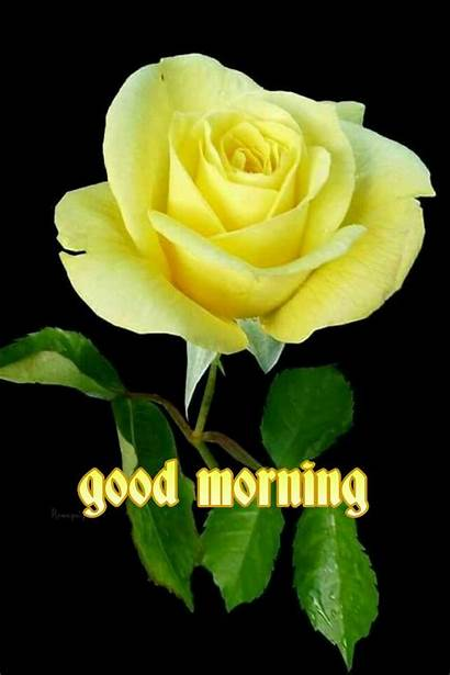 Morning Yellow Roses Rose Quotes Google Flowers