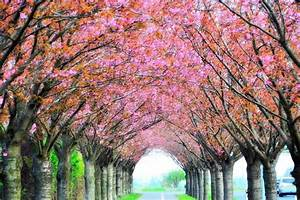 Rosa Blühende Bäume April : allee mit bl henden kirschb umen im stockfoto colourbox ~ Michelbontemps.com Haus und Dekorationen