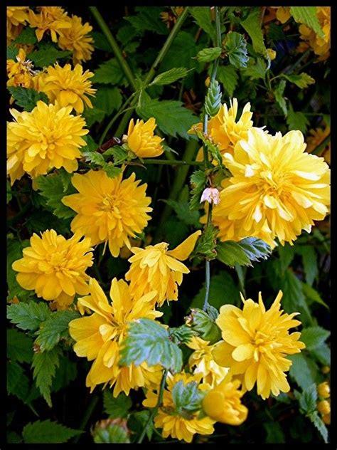 gele hoge bloemen gele bloemen in een heg plants pinterest gele
