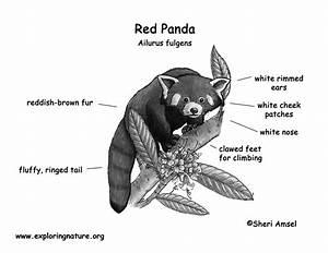 Panda  Lesser Or Red