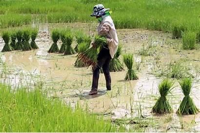Pertanian Rice Hasil Thai Indonesia Vietnam Europe