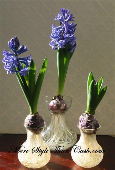 growing hyacinths in water so pretty must try diy