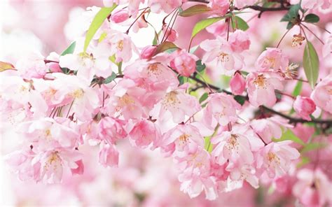 japanese flowers images beautiful flower wallpapers for you japanese cherry blossoms wallpaper