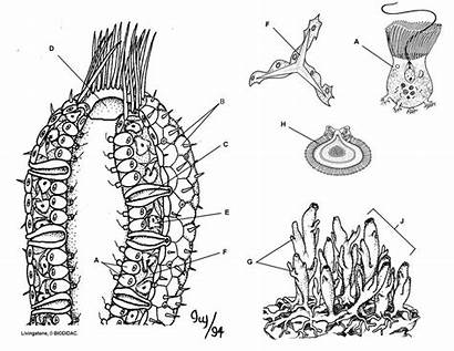 Sponge Coloring Phylum Porifera Pages Anatomy Colouring