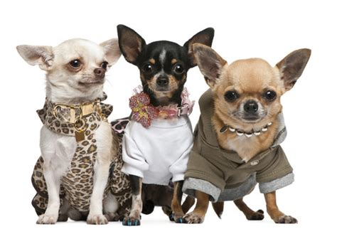 What Dogs Do Not Shed Hair by 21 Things You Did Not Know About Chihuahuas Dog Show