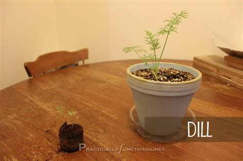 grow dill in pot 4 simple things to help your plants grow herb garden series