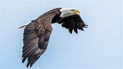 Bald Eagles Eagle Watching Bird Height Crop
