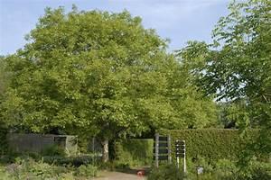 Walnussbaum Selber Pflanzen : walnuss nussbaum pflanzen und pflegen mein sch ner garten ~ Michelbontemps.com Haus und Dekorationen