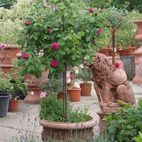 ratgeber rosenimkuebel rosen informatives rosen