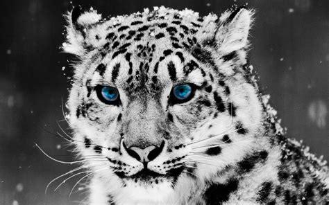 Leopard Animal Wallpaper - ultra hd 4k snow leopard wallpapers hd desktop