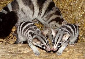African Civet Cat Wallpapers High Quality | Download Free