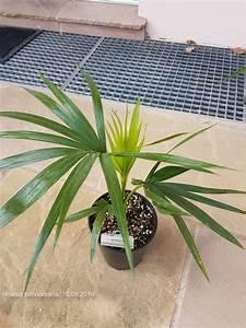 Kentia Palme Braune Blätter : braune bl tter seite 1 palmen ~ Watch28wear.com Haus und Dekorationen