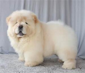 white chow – PUPPIES FOR SALE