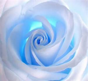 Sky blue rose | Ah it smells wonderful....its a Rose ...