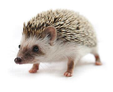 care   pet hedgehog