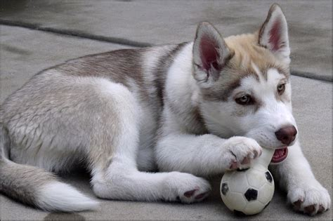 Maverick The Siberian  Ee  Husky Ee   Puppy About Three Months Old Flickr