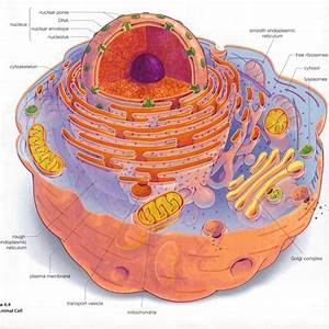 Eukaryotic Cell Structure Diagrams   Biological Science