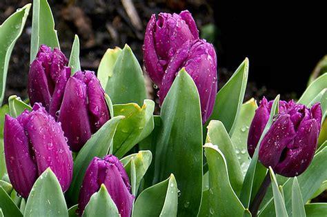bulb flowers list list of flower bulbs garden guides
