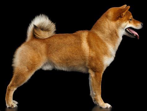 do shibas shed a lot do shiba inus shed a lot myshiba shiba inu puppies for
