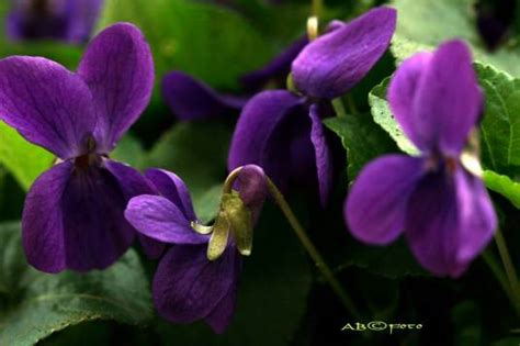 fiori le viole la madonna sabato santo a nocent trittico