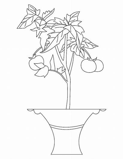 Plant Coloring Tomato Colouring Parts Pages Drawing