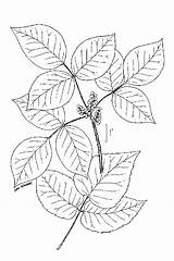 Ivy Poison Drawing Vine Coloring Plants Pages Toxicodendron Radicans Ive Colouring Control Line Leaves Usda sketch template