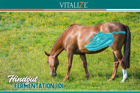 hindgut fermentation vitalize