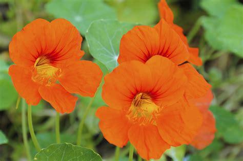 Orange Pilze Im Garten by Kapuzinerkresse S 228 En Und Pflegen Tipps Gartenpflanzen