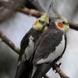 Female Yellow Cockatiel Bird