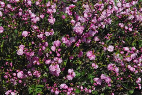 large flowering bush flowering almond bush by robyn stacey