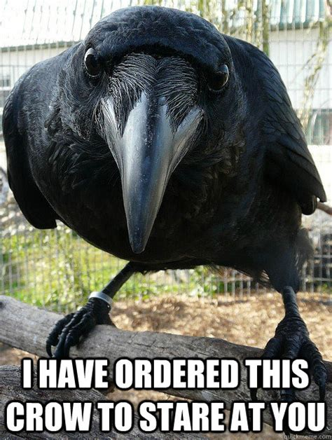 Crow Meme - i have ordered this crow to stare at you crow quickmeme