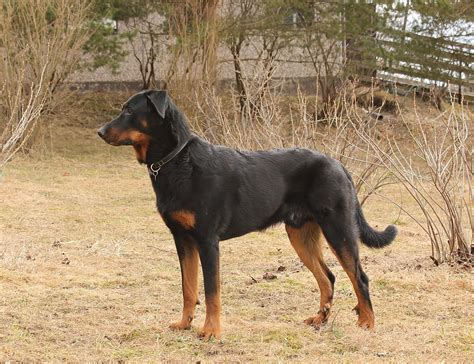 Beauceron Wikimedia Commons