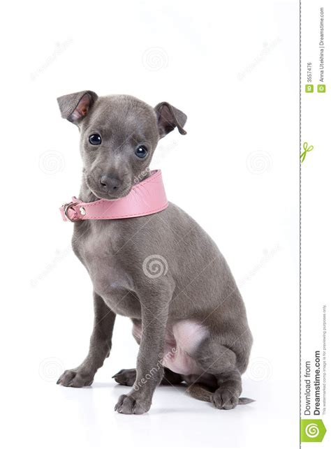 Italian Greyhound Non Shedding by De Italiaanse Hond De Windhond Royalty Vrije Stock