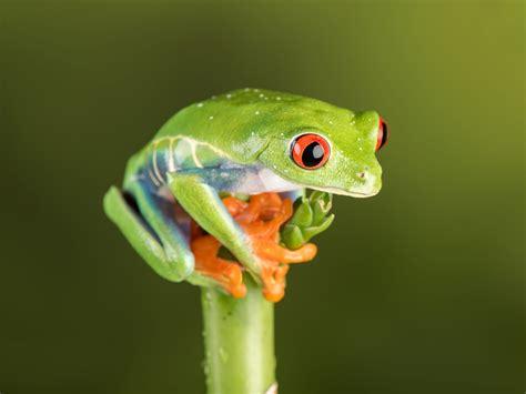 red eye tree frog   wallpaperscom