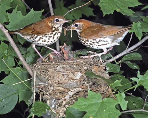 Wood Thrush Facts Habitat Diet Migration Song Video