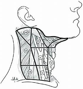 Leveling System Of Cervical Lymph Nodes  Level I Contains