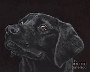 Black Labrador Retriever - Loyal Companion Drawing by ...