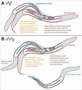 In Caenorhabditis Nematodes  Sperm Compete For Position In