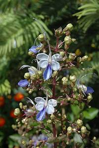 blue butterfly plant clerodendrum ugandense in houston