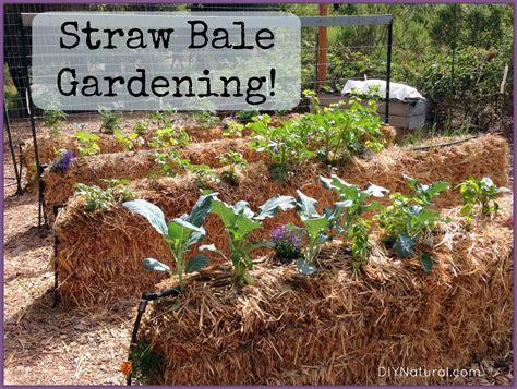 hay bale gardening straw bale gardening an easy way to grow food