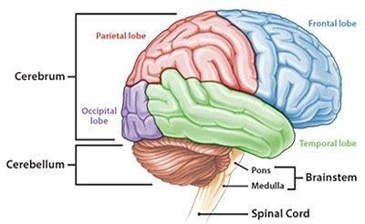 parts   brain quora