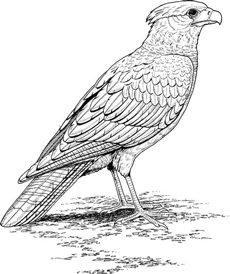 Realistic Falcon Bird Coloring Pages Animal Coloring Pages