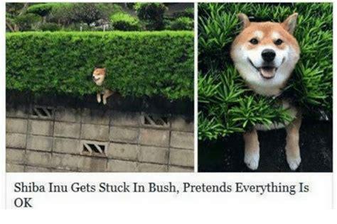 Shiba Memes - shiba inu gets stuck in bush pretends everything is ok shiba inu meme on sizzle
