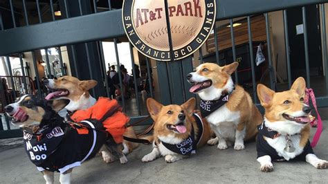 wave  adorable dogs invades san francisco giants game