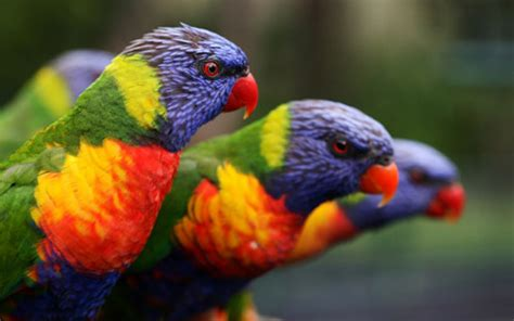 Rainbow Animal Wallpaper - rainbow lorikeet hd wallpaper and background image