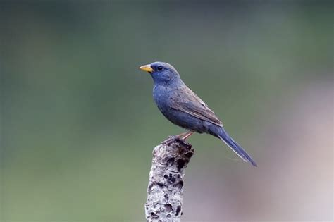 blue finches