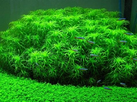 water plants for aquarium 25 best ideas about live aquarium plants on plant fish tank aquatic plants and