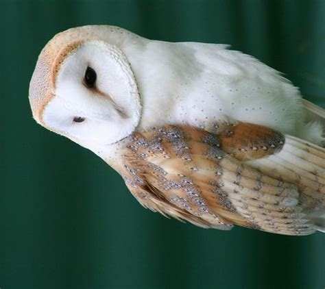 barn owl facts 10 interesting barn owl facts my interesting facts