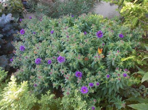 to fall blooming perennials fall blooming perennials hometalk garden pinterest